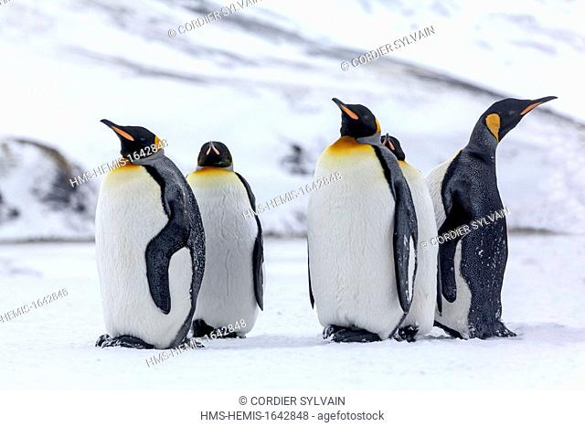 Antarctic, South Georgia Island, Salysbury plains, King Penguin (Aptenodytes patagonicus)