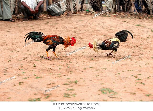 Cock fight, a traditional sports entertainment of tribals, Gond tribe, Muriyan Village, Chhattisgarh, India
