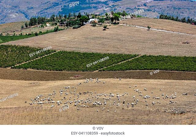 Flock of cattle on the field near Segesta, Sicily