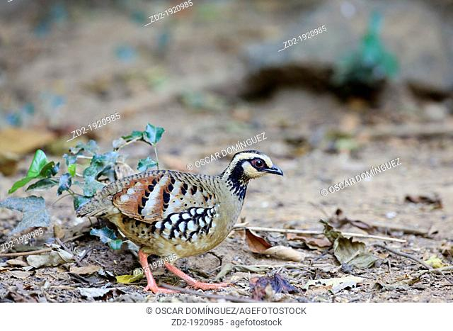 Bar-backed Partridge Arborophila brunneopectus searching for food in the forest floor  Kaeng Krachan National Park  Thailand