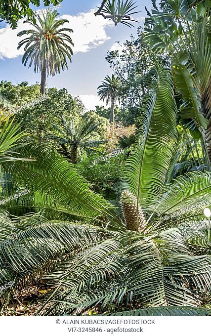 Encephalartos laurentianus, Jardin de aclimatacion de la Orotava, Puerto de la Cruz, Tenerife, Canary Islands, Spain