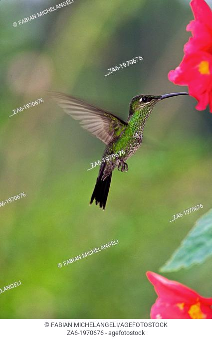 Violet-fronted brilliant (Heliodoxa leadbeateri), female bird hovering in the cloud forest of northern Venezuela