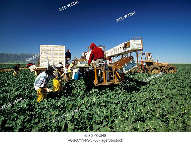 Agriculture - California, Salinas Valley, Broccoli being harvested
