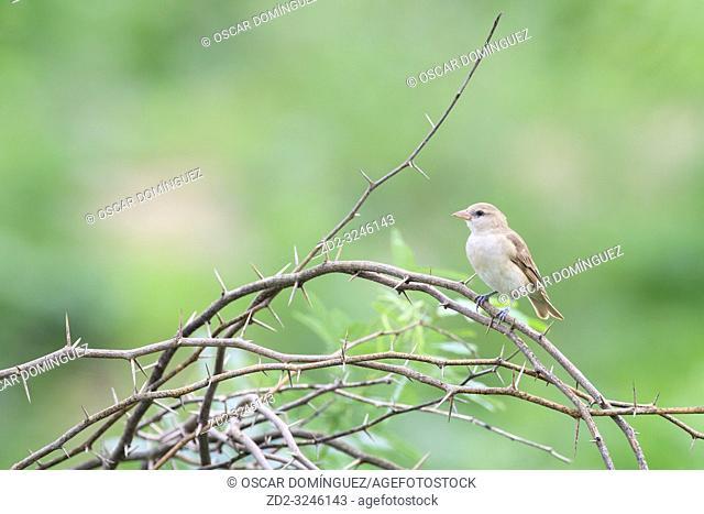 Chestnut-shouldered Bush-sparrow (Gymnoris xanthocollis), female perched on branch. Keoladeo National Park. Bharatpur. Rajasthan. India