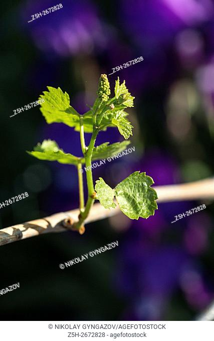Young vine central Russia. Belgorod region