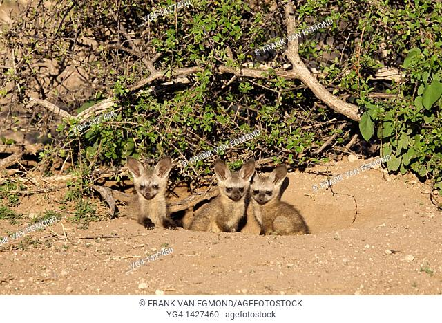 Bat-eared Fox Otocyon Megalotis   Pups at a den   Mashatu Game Reserve  Tuli block, Botswana  November 2010