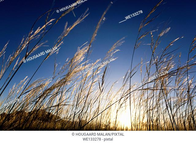 Low wide-angle photo of golden grass bending in the wind below a clear sunset sky. Namib Rand, Namibia