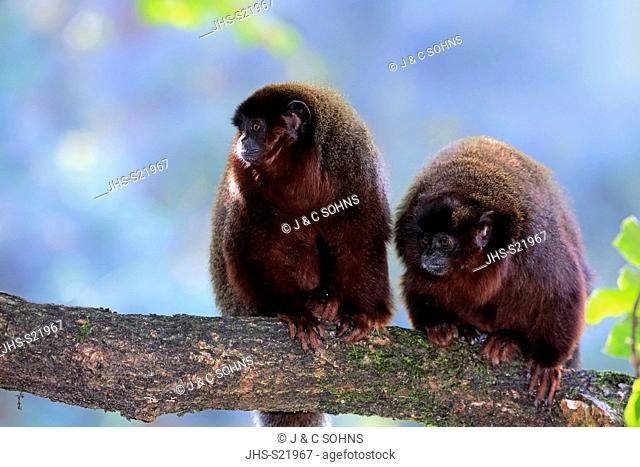 Dusky titi monkey, (Callicebus moloch), adult with subadult on tree, South America