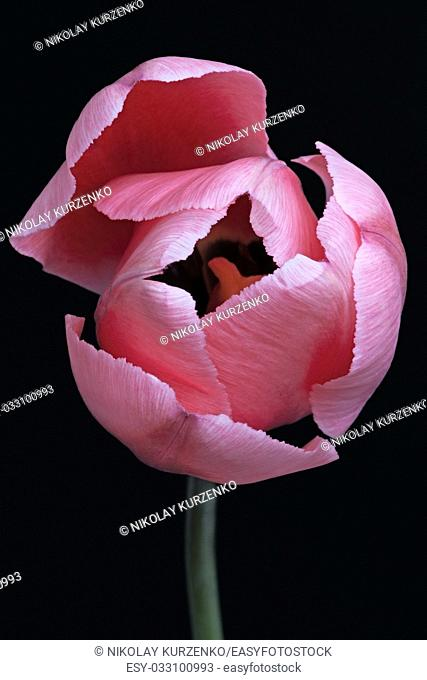 Tulip (Tulipa x gesneriana). Called Didier's Tulip and Garden Tulip also. Frontal view of pink flower isolated on black background
