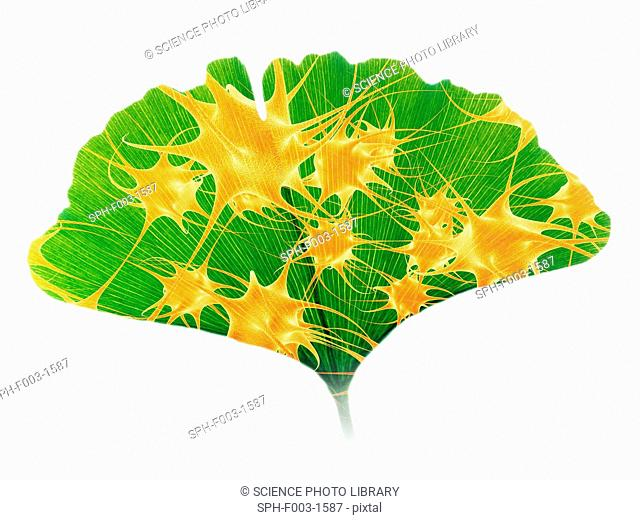 Ginkgo and nerve cells