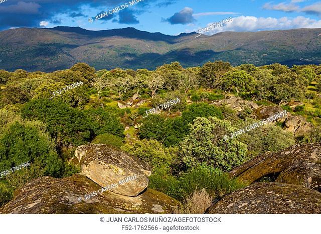 HOLM OAK Quercus ilex, Valley of the Ambroz river, Cáceres, Extremadura, Spain, Europe