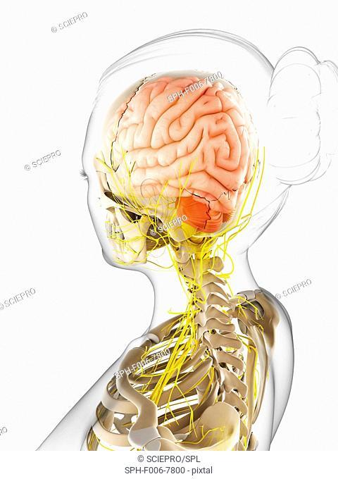 Female nervous system, computer artwork