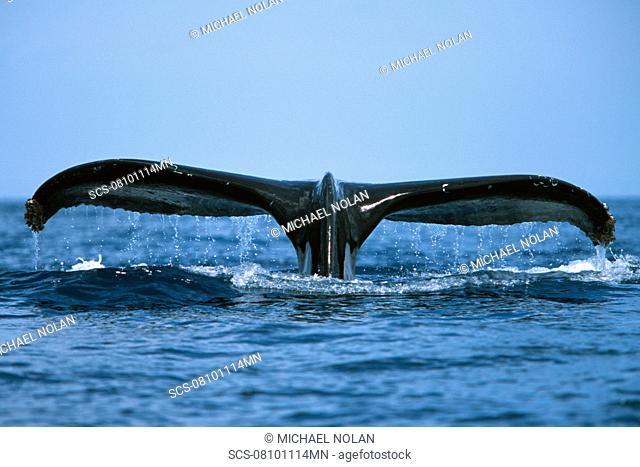Pacific humpback whale adult,Megaptera novaeangliae, fluke-up dive in the Au Au Channel near Maui, Hawaii
