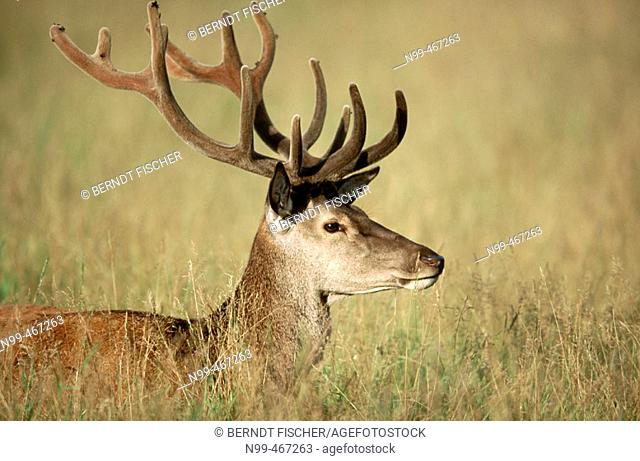 Red deer (Cervus elaphus). Stag, velvet on antlers/horns grassland. Rhön mountains. Lower Mountain Ranges. Germany