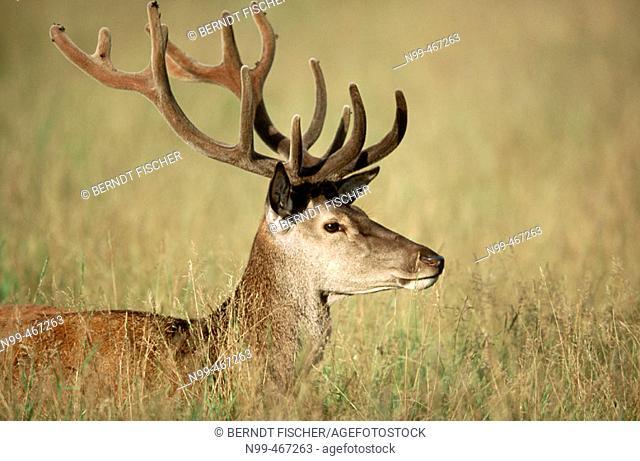 Red deer (Cervus elaphus). Stag, velvet on antlers/horns grassland. Rhön mountains. Lower Mountain Ranges. Germany