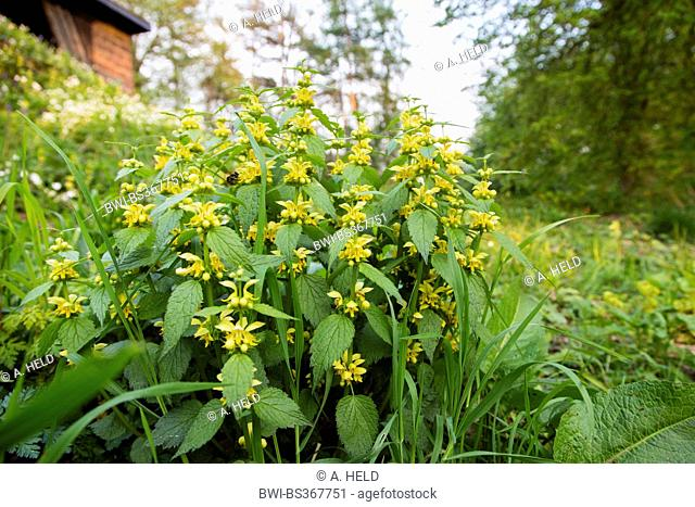 yellow dead-nettle (Lamium galeobdolon), in a meadow at forest edge, Germany, Baden-Wuerttemberg