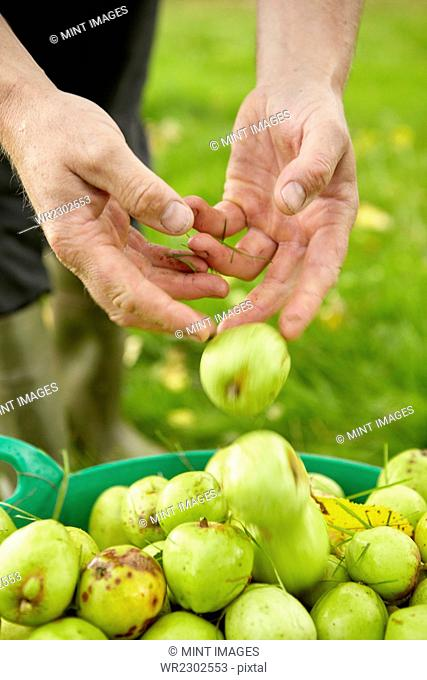 A man sorting apples in a large green bucket