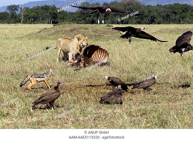 Lion sub-adult male feeding on a carcass (Panthera leo) watched by Spotted hyenas (Crocuta crocuta) and Black-backed jackals (Canis mesomelas)