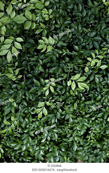 Beautiful green leaves for design