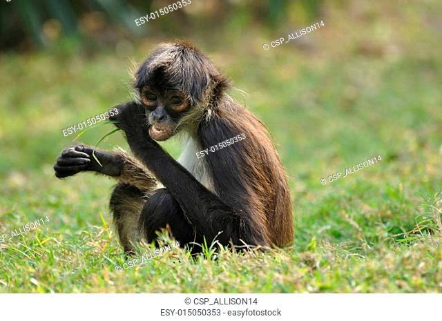 Geoffroy's Spider Monkey (Ateles geoffroyi) Eating