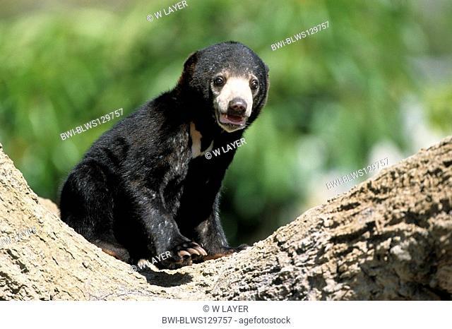 sun bear, Malayan sun bear Ursus malayanus, Helarctos malayanus, young individual