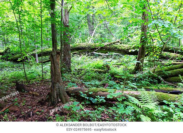Old oak tree broken lying and old natural deciduous stand background, Bialowieza Forest, Poland, Europe