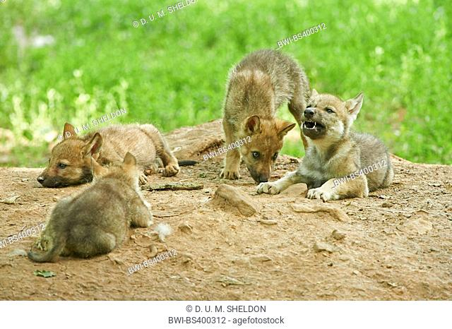 European gray wolf (Canis lupus lupus), four cute wolf cubs, Germany, Bavaria