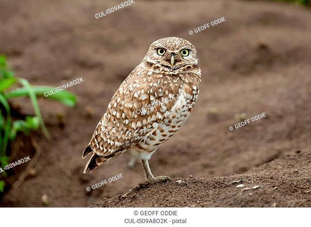 Burrowing Owl, San Francisco, California, USA