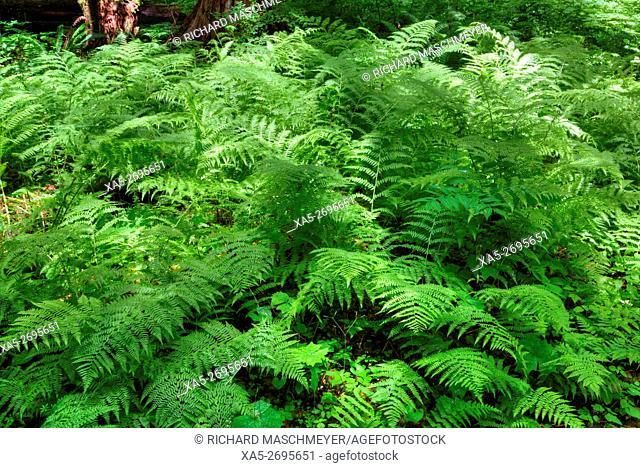 Ferns, Rain Forest, Olympic National Park, UNESCO World Heritage Site, Washington State, USA