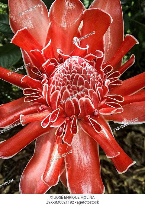 Amazonian flowers, Heliconia floweer.Amazonian, Peru