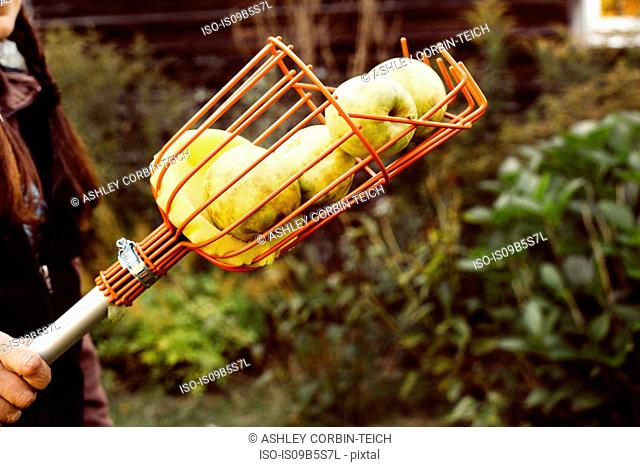 Woman holding fruit picker full of fresh apples, close-up