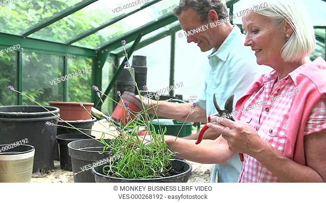 Middle aged couple pruning lavender plant in greenhouse. Shot on Sony FS700 in PAL format at a frame rate of 25fps
