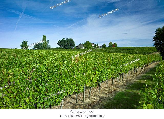 Merlot grapes ripe for harvest at Chateau Fontcaille Bellevue, in Bordeaux region of France