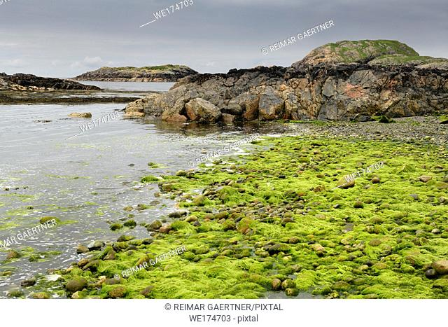 Bright green string algae on rocks at shore of The Bay at the Back of the Ocean The Machair on Isle of Iona Inner Hebrides Scotland UK