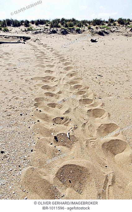 Trail of a Sea Turtle (Cheloniidae) in the sand, Cape York Turtle Rescue, Mapoon, Cape York Peninsula, Queensland, Australia