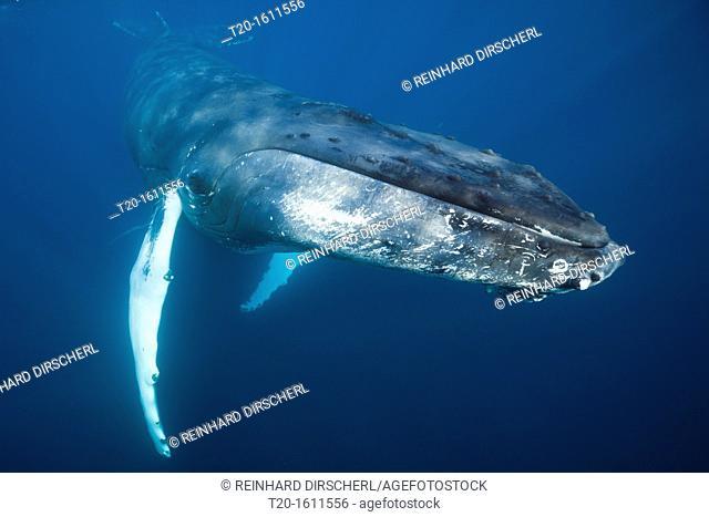 Humpback Whale, Megaptera novaeangliae, Caribbean Sea, Dominica