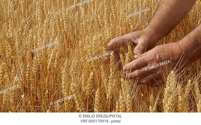 Wheat. Checking the grains. Lleida, Catalonia, Spain