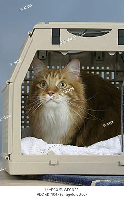 Maine Coon Cat in kennel