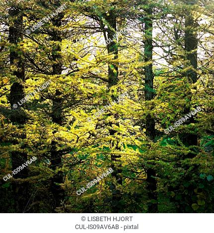 Yellowing foliage in sunlit autumn forest