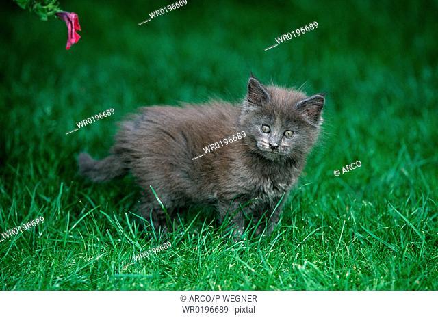 Maine, Coon, Cat, kitten, 8, weeks, blue