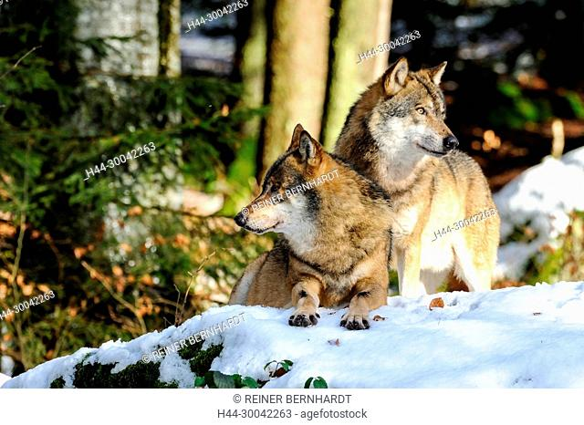Canine, Canis lupus, European wolf, frost, grey wolf, doggy, Isegrimm, cold, emergency time, predator, predators, snow, winter, wolf, wolves