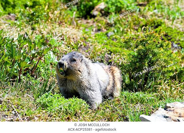 A hoary marmot Marmota caligata in Garibaldi Provincial Park near Whistler BC