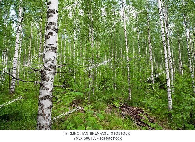Young birch , betula , forest at Spring  Location Tervanen Suonenjoki Finland Scandinavia Europe
