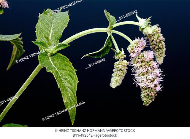 Horse mint, long-leaved mint, Mentha longifolia, Menta selvatica