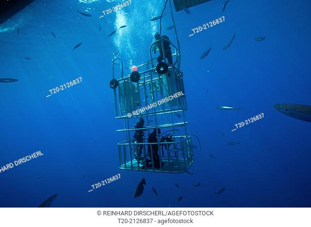 Great White Shark Cage Diving, Guadalupe Island, Mexico