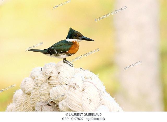 Bird, Martim-fisherman-small, Lençois, Atins, Maranhão, Brazil