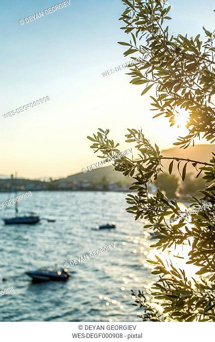 Greece, Kala Nera, olive tree at the sea at sunset