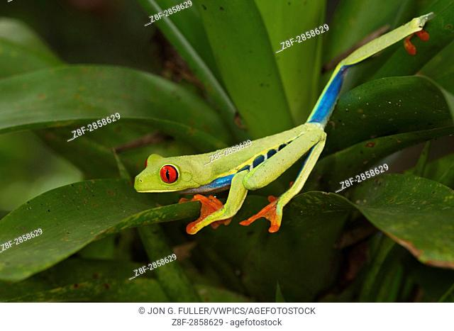 The Red--eyed Tree Frog or Red-eyed Leaf Frog, Agalychnis callidryas, lives in the rainforests of Neotropical America from Mexico to Columbia