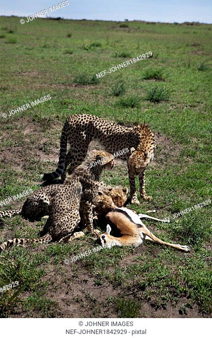 Cheetah eating antelope