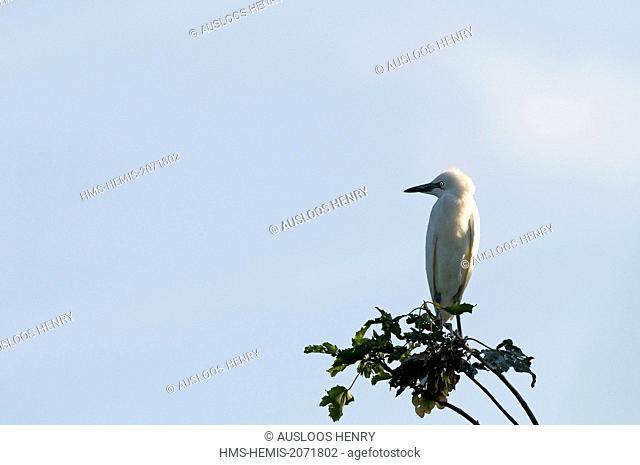 Cattle Egret (Bubulcus ibis coromandus), a young